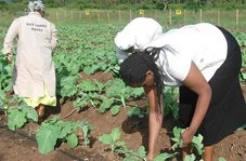 Communal Organic Vegetable Garden